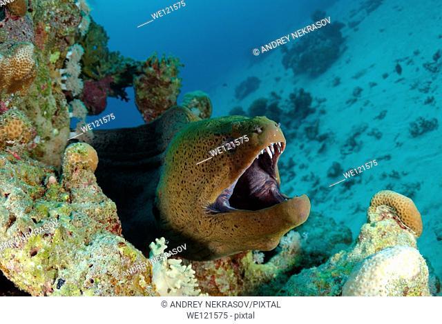 Mediterranean moray Muraena helena Red sea, Egypt