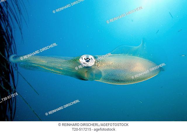Reef squid, Sepiotheuthis australis, Malaysia, Pacific ocean, Borneo, Mabul