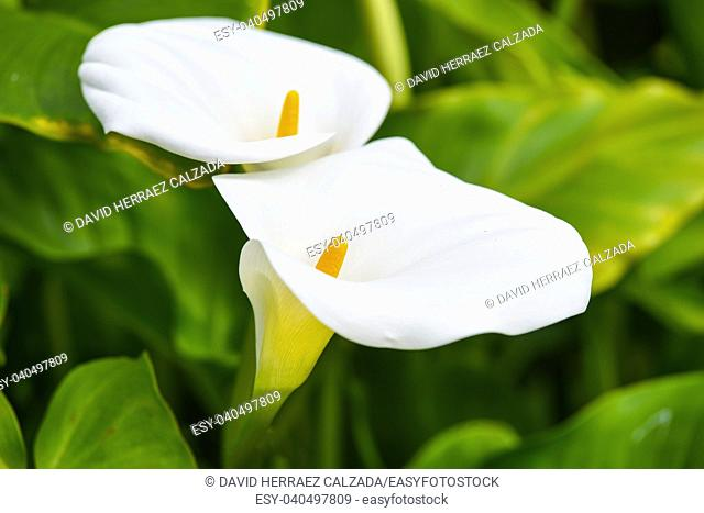 Beautiful white tropical flower on green natural background