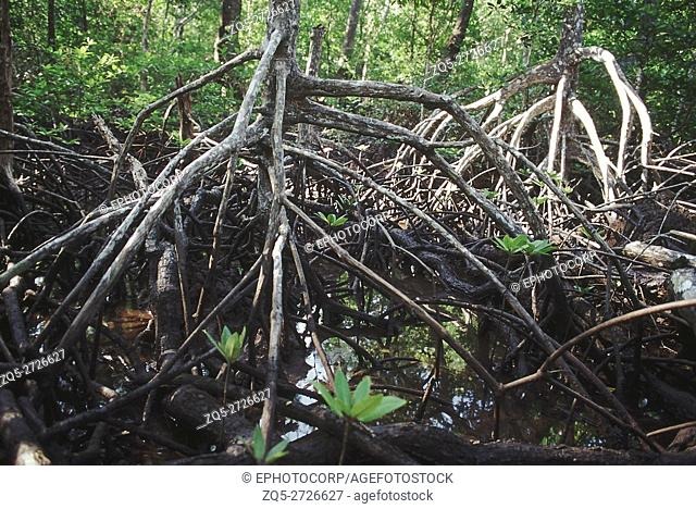 The stilt roots of a species of Rhizophora hold the plant firmly in the mud. The maze of roots forms an important habitat for a variety of crabs