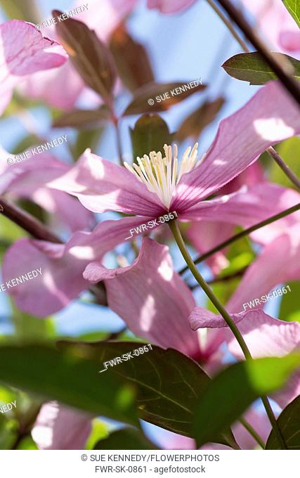 Clematis, Clematis montana, Backlit pink coloured flowers growing outdoor