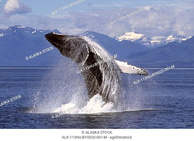 Humpback whale breaching in Frederick Sound Southeast Alaska Summer Inside Passage
