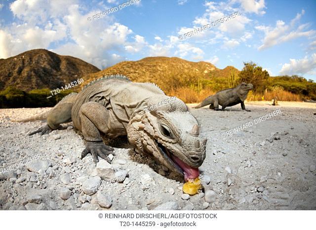 Rhinoceros Iguana, Cyclura cornuta, Isla Cabritos National Park, Lago Enriquillo, Dominican Republic