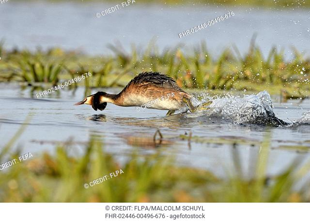 Great Crested Grebe (Podiceps cristatus) adult, breeding plumage, in aggressive posture, running across water surface, Danube Delta, Tulcea, Romania, May