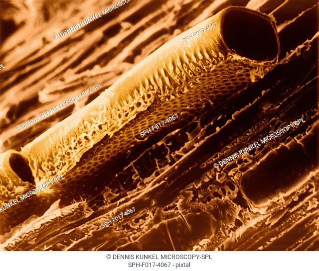 Conductive vessel element in mountain mahogany wood (Cercocarpus sp), coloured scanning electron micrograph (SEM). Note the bordered pits in the cellulose wall