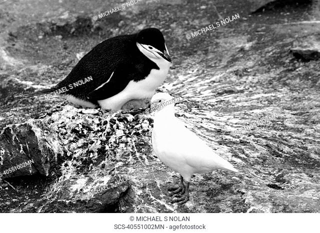 Snowy sheathbill Chionis alba in and around the Antarctic Peninsula This bird is also known as the pale-faced sheathbill