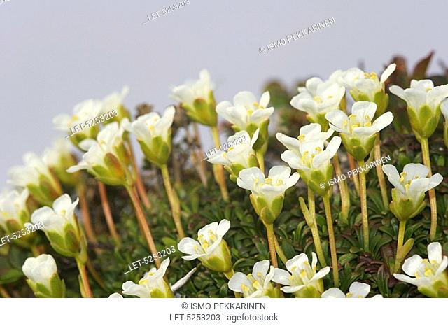 Diapensias Diapensia lapponica in Lapland  Kilpisjarvi, Finland