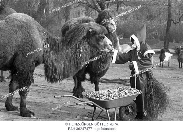 A man dressed as Santa Claus brings a wheelbarrow full of goodies for the camels at Frankfurt Zoo on 5 December 1963. | usage worldwide