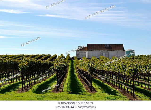 Vineyard with Old Barn