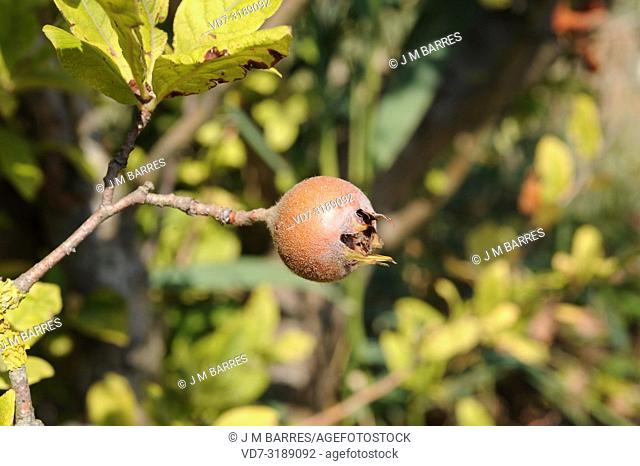 Common medlar (Mespilus germanica) is a shrub or small tree native to Asia and southeastern Europe. Its fruits (pomes) are edible