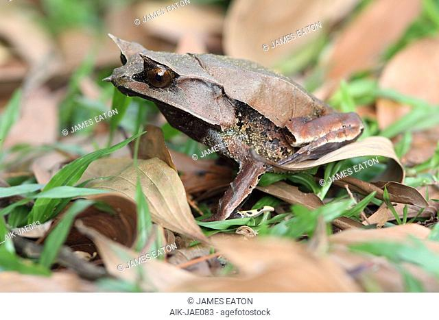 Long-nosed horned frog (Megophrys nasuta), also know and Malaysian Horned Frog (or Malayan leaf frog) is a species of frog restricted to the rainforest areas of...