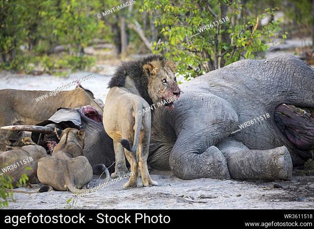 Adult lions feasting on a dead elephant carcass in a game reserve