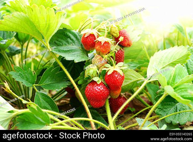 Fresh organic strawberries against sunlight closeup shot