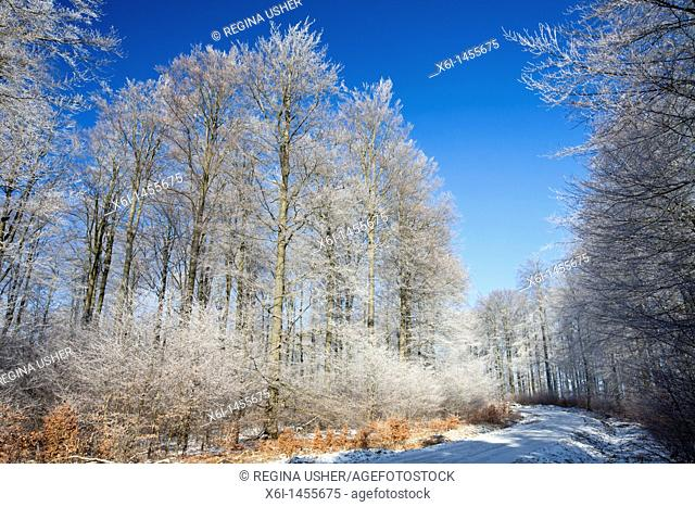 Beech woodland Fagus sylvatica, covered in frost, winter, Hessen, Germany