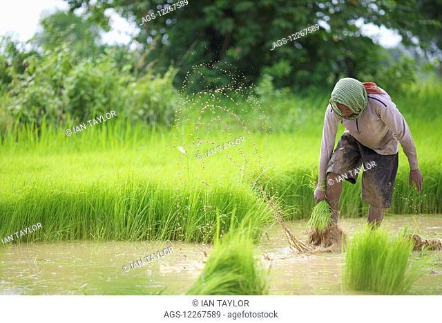 Transplanting rice; Battambang, Cambodia