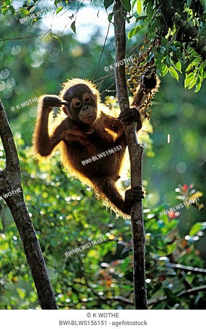 Bornean orangutan Pongo pygmaeus pygmaeus, pup on tree to tapping its' forehead at somebody, Indonesia, Borneo, Tanjung Puting National Park