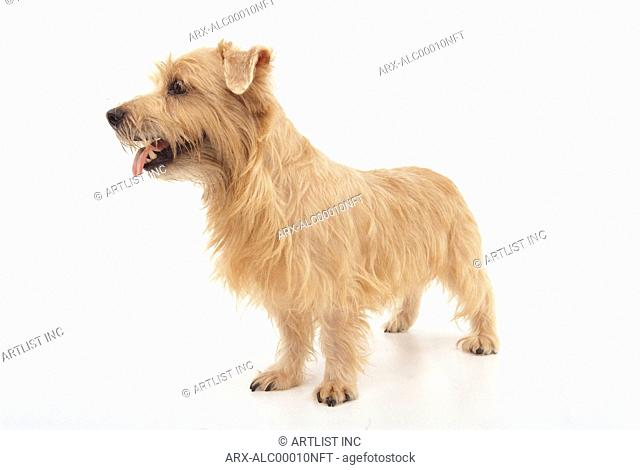 A dog sticking out its tongue