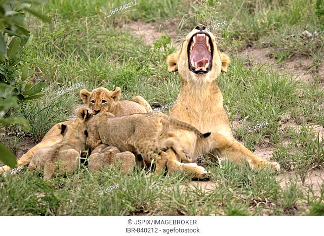 Lion (Panther leo), yawning lioness and playing cubs, social interaction, Sabi Sand Game Reserve, South Africa