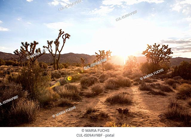 Landscape view of Joshua Tree national park at dawn, California, USA