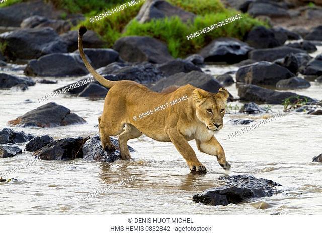 Kenya, Masai Mara National Reserve, lion (Panthera leo), female crossing the Mara river