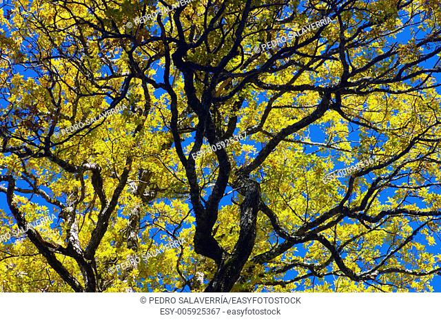 closeup of a tree autumn with yellow leaves in the valley of Aspe, Pyrenees, France