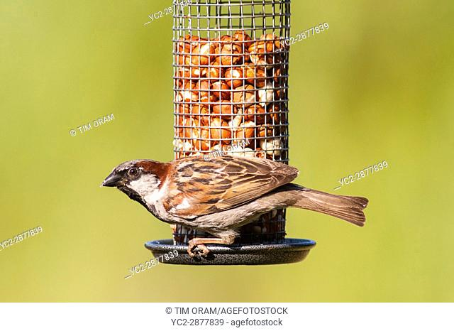A close up bird portrait of a male house sparrow (passer domesticus) in a uk garden