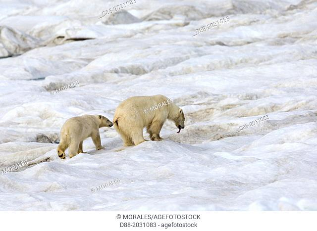 Russia , Chukotka autonomous district , Wrangel island , Polar bear ( Ursus maritimus ) , Adult , female with yound , one year and a half