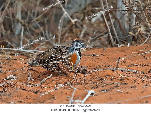 Madagascan Buttonquail (Turnix nigricollis) adult female scratching on ground in Spiny forest, Madagascan Endemic Parc Mosa, Ifaty, Madagascar        November