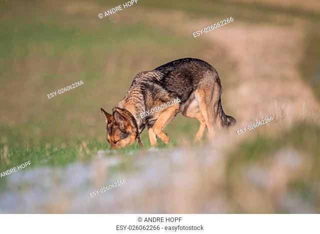 german shepherd at stroll