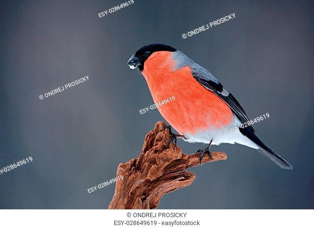 Songbird red Bullfinch sitting on branch, grey background, Sumava, Czech Republic