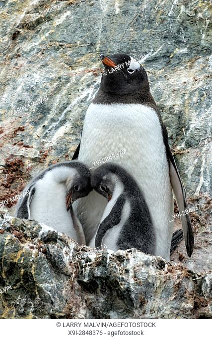 Gentoo penguin mother with two chicks on a rocky outcropping in Antarctica
