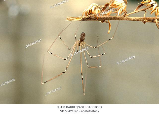 Longbodied cellar spider or skull spider (Pholcus phalangioides) is a cosmopolitan spider