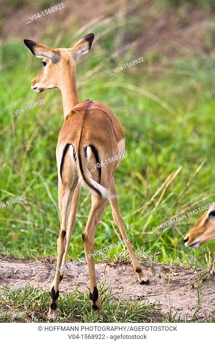 An alerted impala (Aepyceros melampus) from the back, Tarangire National Park, Tanzania, Africa