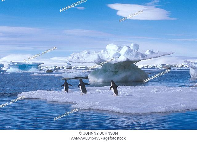 Adelie Penguins on Ice Floe, Weddell Sea, Antarctica (Pygoscelis adeliae)