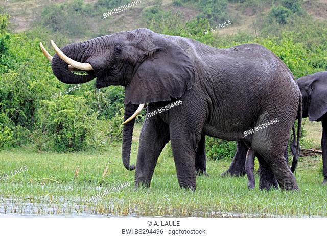 African elephant (Loxodonta africana), tusker at the river bank, Uganda, Kazinga, Queen Elizabeth National Park