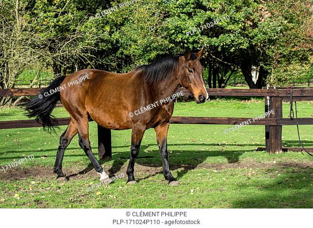 Belgian Warmblood horse outdoors in field within wooden enclosure
