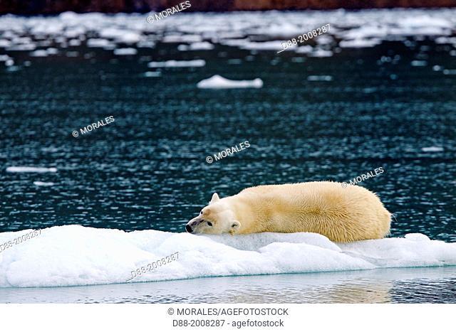 Norway , Spitzbergern , Svalbard , Polar Bear ( Ursus maritimus ) resting on a piece of ice