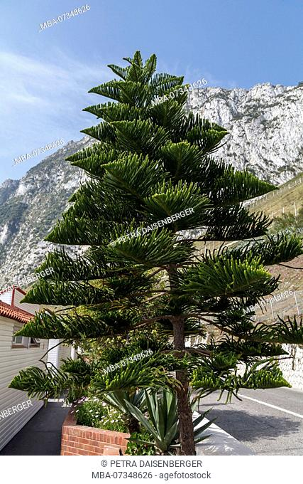 A Norfolk Island pine (Araucaria heterophylla), as container plant in Gibraltar
