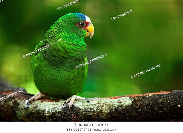 Green parrot White-fronted Amazon, Amazona albifrons, Belize