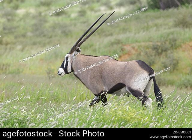 Gemsbok (Oryx gazella), adult male, walking in the tall grass, Kgalagadi Transfrontier Park, Northern Cape, South Africa, Africa
