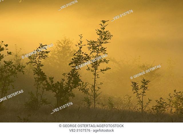Tree in morning fog, Tualatin River National Wildlife Refuge, Oregon