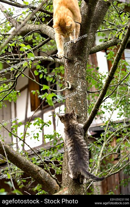 Orange Cat and Kitten climbing on a Tree in their natural habitat