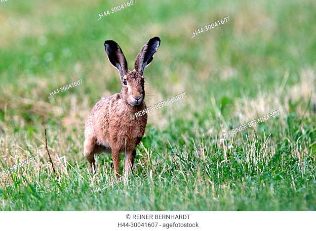 The crooked, field hare, field hare, free living person animals, hare, hare in the field, hare in July, hares, bunny, Lepus europaeus Pallas, Mümmelmann