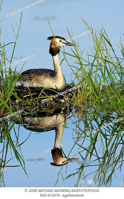 Great Crested Grebe (Podiceps cristatus) on nest. Los Barruecos Natural Park. Cáceres province, Spain