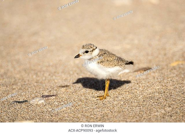 Endangered Piping Plover (Charadrius melodus) chick, Grand Beach Provincial Park, Manitoba, Canada