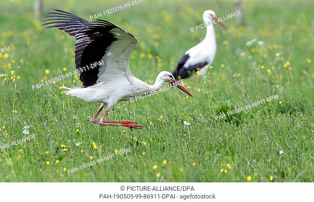 05 May 2019, Baden-Wuerttemberg, Unlingen: A stork jumps across a meadow in search of food. Photo: Thomas Warnack/dpa. - Unlingen/Baden-Wuerttemberg/Germany