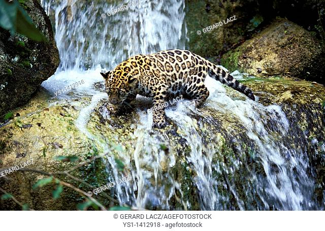 JAGUAR panthera onca, YOUNG ON ROCK CROSSING A WATERFALL