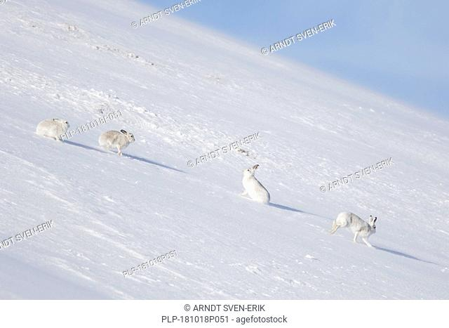 Four mountain hares / Alpine hare / snow hare (Lepus timidus) group in white winter pelage sitting in the snow