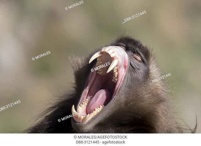 Africa, Ethiopia, Rift Valley, Debre Libanos, Gelada or Gelada baboon (Theropithecus gelada), dominant male in intimidation posture