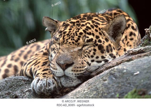 Jaguar Panthera onca